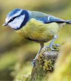 Calendriers Oiseaux